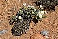 Monilaria scutata ssp. obovata (Aizoaceae) with the Karoo tent tortoise (Psammobates tentorius trimeni) (37351250426).jpg