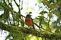 Monticola sharpei -Antsiranana, Madagascar-8.jpg