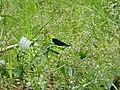 Mooie blauwe libelle.jpg