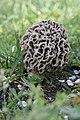 Morchella esculenta - panoramio (4).jpg