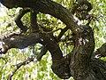 Morus nigra (14).jpg
