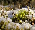 Moss and lichen in snow (2226538312).jpg
