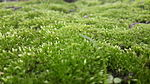 Moss on the Ground during Spring.jpg