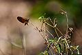 Moth Fly.jpg