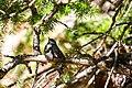Mountain chickadee (48408023726).jpg