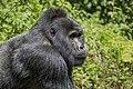 Mountain gorilla (Gorilla beringei beringei) 13.jpg