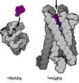 Mu-opioid receptor (GPCR) hy.png
