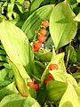 Muguet fruits01.jpg