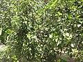 Mulberry - മൾബറി 05.JPG