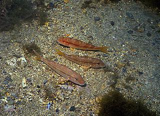 <i>Mullus barbatus</i> species of fish