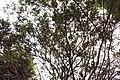 Murraya paniculata 8zz.jpg