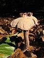 Mushroom-IMG 3459.JPG