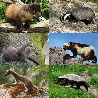 Mustelidae Family of mammals