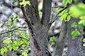 Myrciaria cauliflora 30zz.jpg