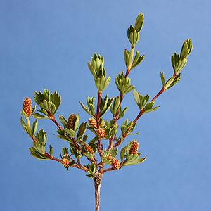 Myrothamnus flabellifolius - Image: Myrothamnus flabellifolius Myrothamanaceae