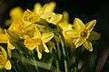 Narcissus 'Tête-à-Tête' cultivar 1234.jpg