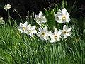 Narcissus poeticus 'Recurvus'.jpg