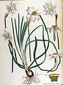 Narcissus poeticus — Flora Batava — Volume v17.jpg