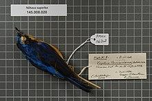 Центр биоразнообразия Naturalis - RMNH.AVES.136808 1 - Niltava superba (Stresemann, 1925) - Muscicapidae - образец кожи птицы.jpeg