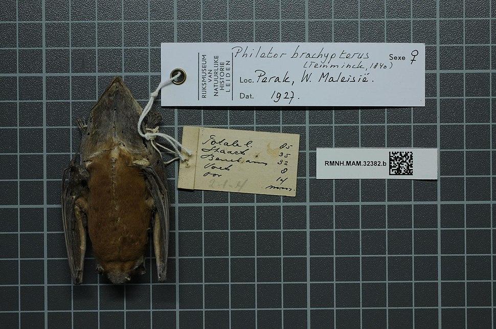 Naturalis Biodiversity Center - RMNH.MAM.32382.b ven - Philetor brachypterus - skin.jpeg