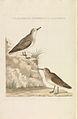 Nederlandsche vogelen (KB) - Calidris alba (283pl).jpg