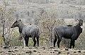 Neelgai Boselaphus tragocamelus by Dr. Raju Kasambe DSCN7833 (12).jpg
