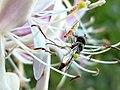 Nektartrinkende Schwebfliege am Lolopfuhl.jpg