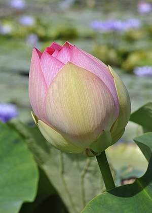 Closed Lotus Flower (Nelumbo nucifera) in the ...