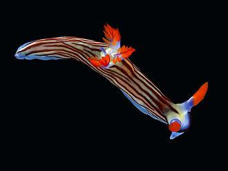 Sea slug - The nudibranch Nembrotha aurea is a gastropod.