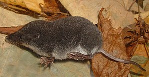 Neomys - Southern water shrew (Neomys anomalus)
