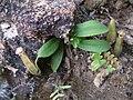 Nepenthes maxima Sulawesi5.jpg