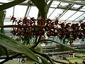 Nepenthes rafflesiana Inflorescence BotGardBln0806d.JPG