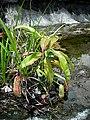 Nepenths mirabilis in habitat.jpg
