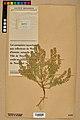 Neuchâtel Herbarium - Alyssum alyssoides - NEU000021959.jpg