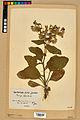Neuchâtel Herbarium - Borago officinalis - NEU000020579.jpg