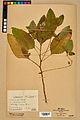 Neuchâtel Herbarium - Impatiens noli-tangere - NEU000019961.jpg