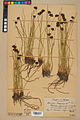 Neuchâtel Herbarium - Juncus jacquinii - NEU000044969.jpg