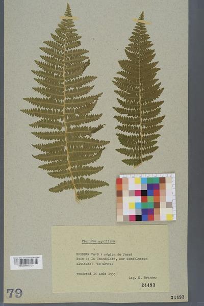 File:Neuchâtel Herbarium - Pteridium aquilinum - NEU000000723.tiff