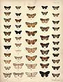 New Zealand Moths and Butterflies (1898) 08.jpg