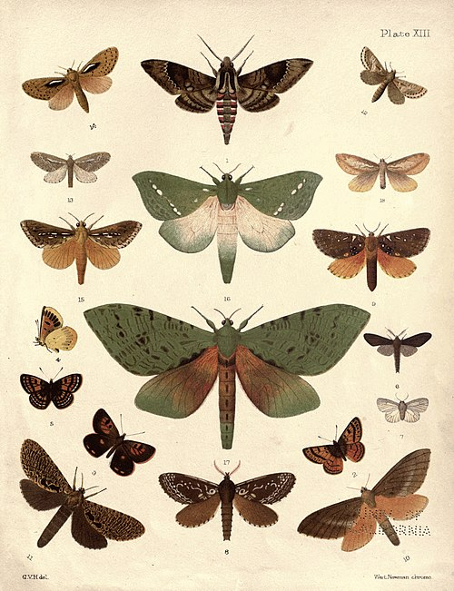 New Zealand Moths and Butterflies (1898) 13.jpg