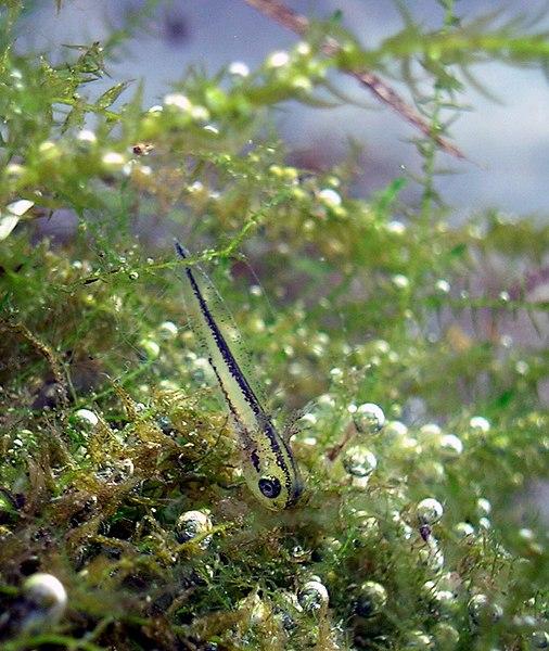 Larva mloka hrebenatého tesne po vyliahnutí