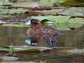 Nomonyx dominicus Pato enmascarado Masked Duck (15276243066).jpg