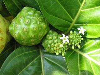Noni fruits and flowers.