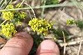 Noordwijk - Geel walstro (Galium verum).jpg