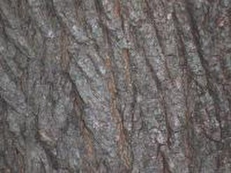 Acer platanoides - Norway maple bark