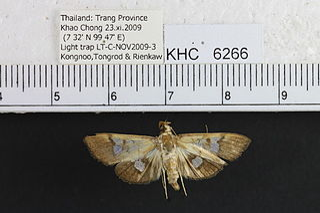 <i>Nosophora</i> genus of insects