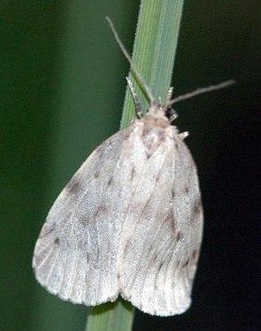 Blankflügel-Flechtenbärchen (Nudaria mundana)