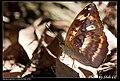 Nymphalidae (5968932495).jpg
