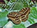 Nymphalidae - Nexias pardalis.jpg