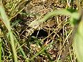 Običan zviždak, gnezdo sa ptićem (Phylloscopus collybita), Common Chiffchaff, nest with a chick.jpg